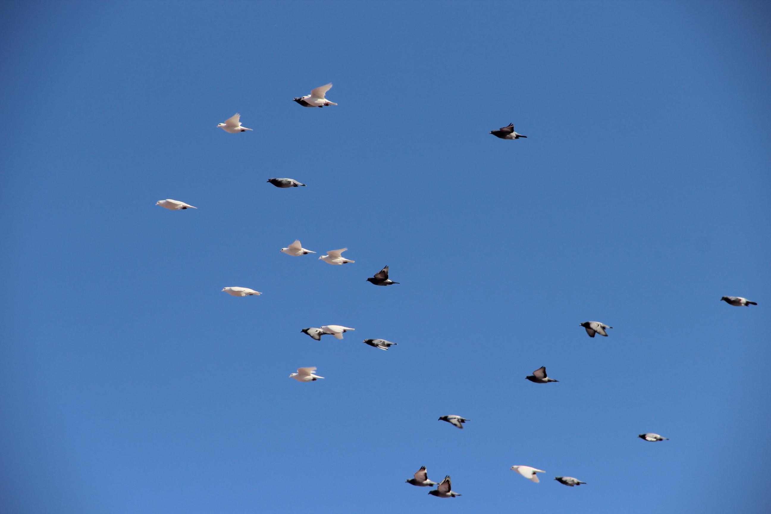 Foto: Vogelschwarm vor eisblauem Himmel. Die Vögel leuchten weiß und schwarz.