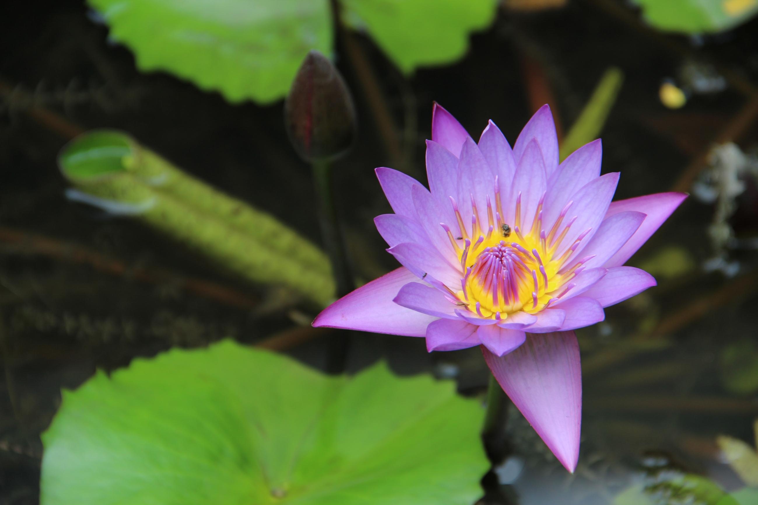 Foto: Lotusblüte, in die sich eine Biene setzt.