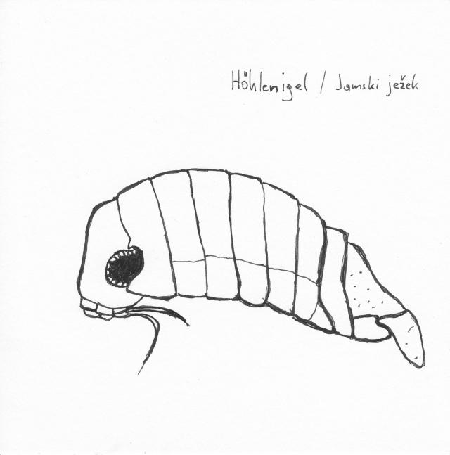 Alt: Zeichnung eines Sphaeromatiden (Höhlenigel), Tusche auf Papier.